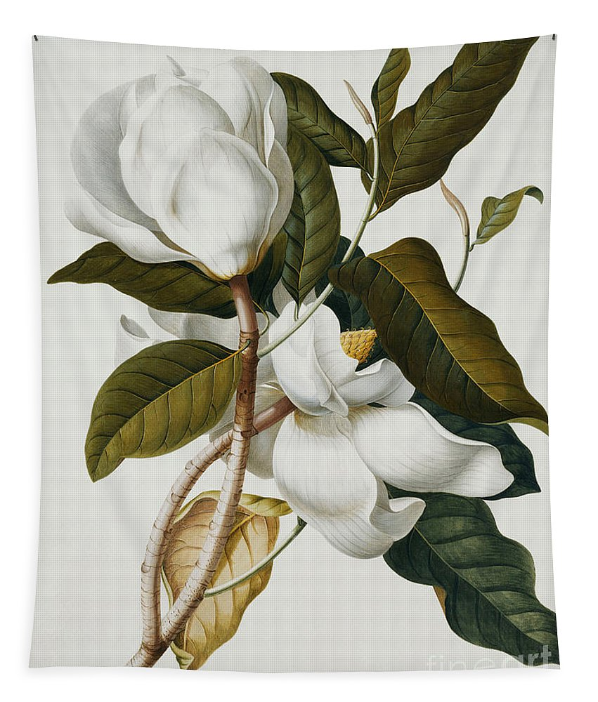 Magnolia Tapestry featuring the painting Magnolia by Georg Dionysius Ehret