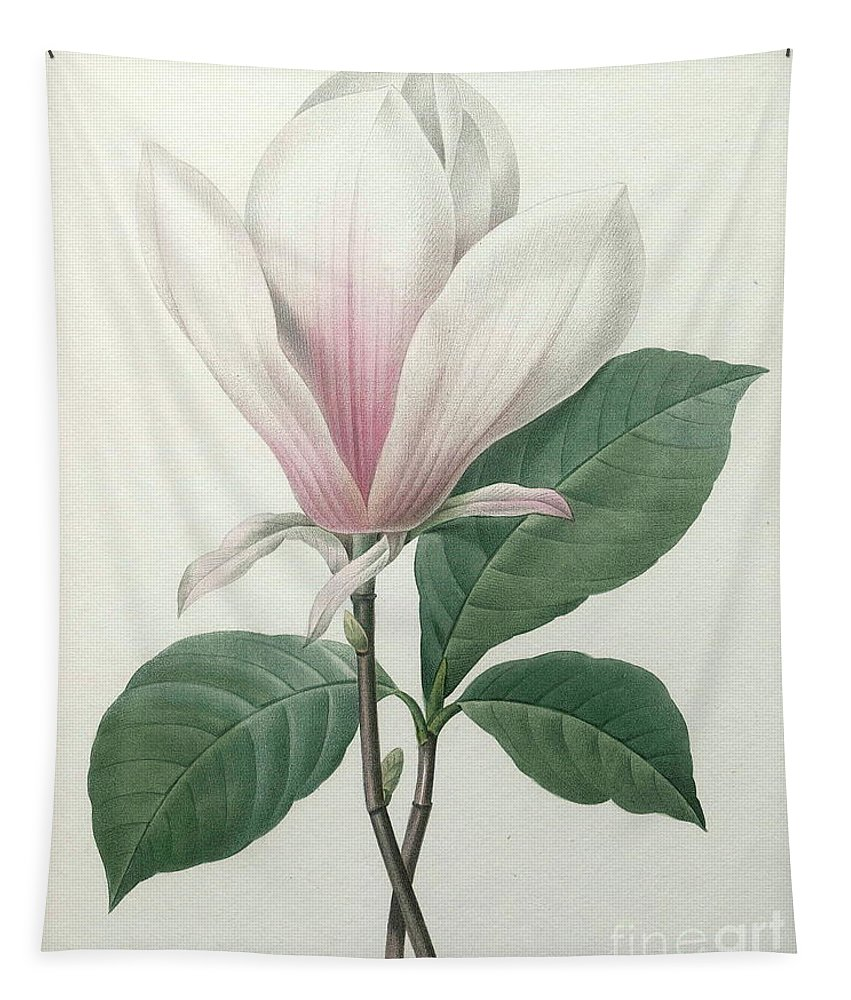 Magnolia Soulangiana Tapestry For Sale By Pierre Joseph Redoute
