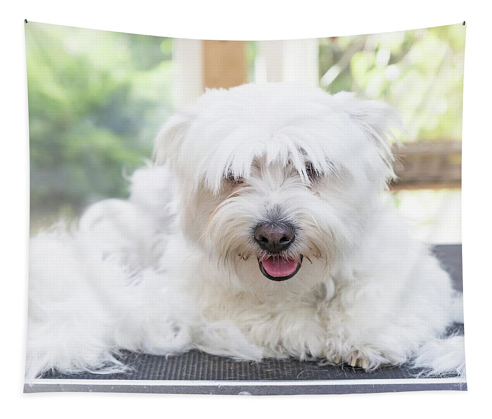 Dog Tapestry featuring the photograph Maltese Dog Is Laying Next To Pile Of Hair by Jaroslav Frank