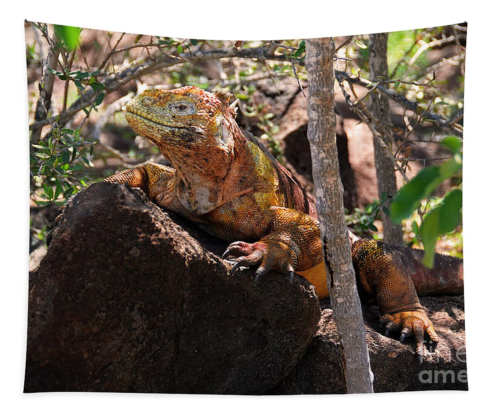 Conolophus Subcristatus Tapestry featuring the photograph North Seymour Island Iguana In The Galapagos Islands by Catherine Sherman