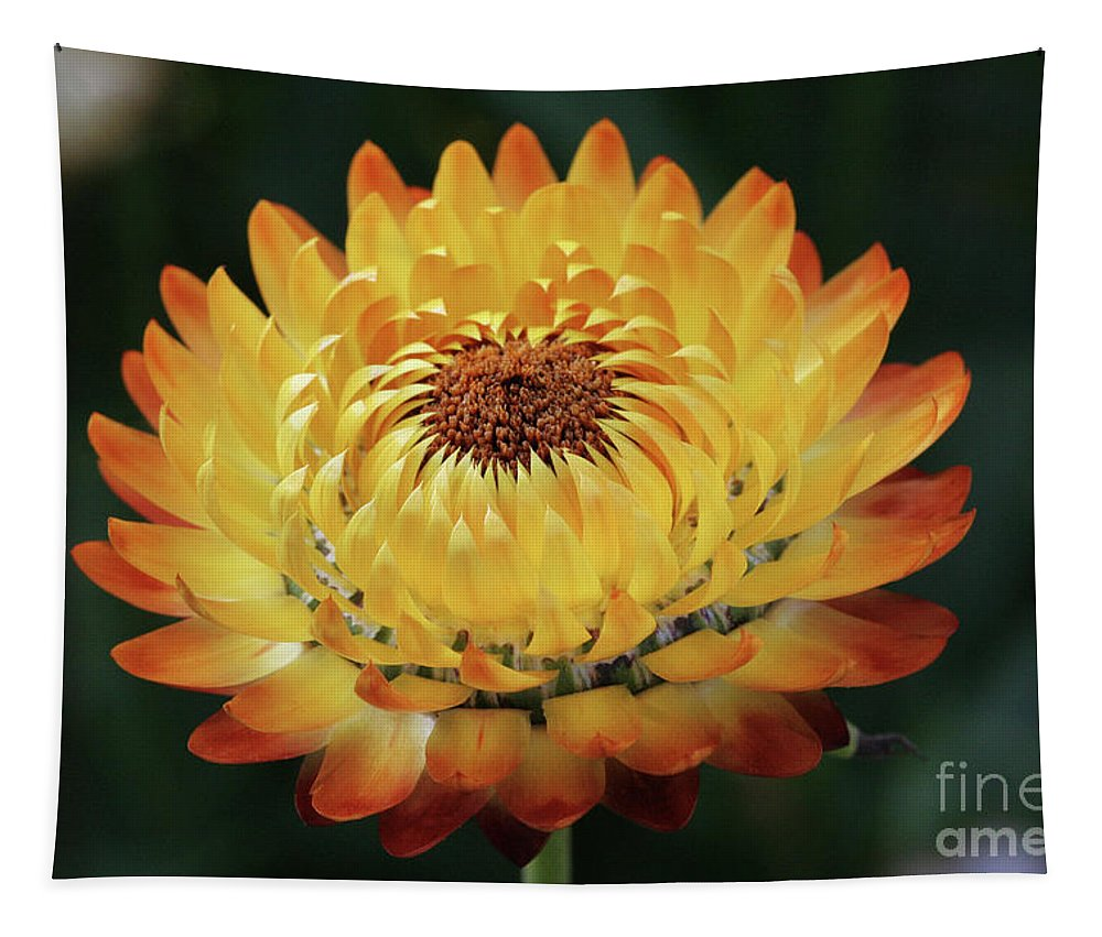 Strawflower Tapestry featuring the photograph Orange And Yellow Strawflower by Judy Whitton