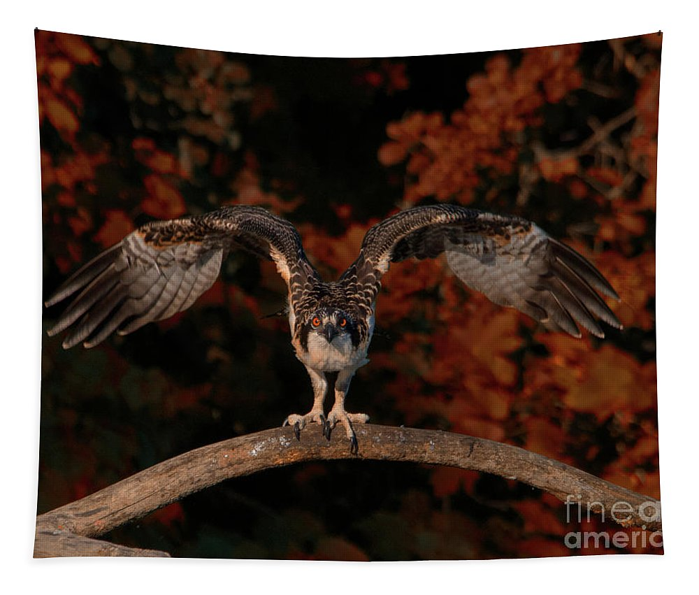 Osprey Tapestry featuring the photograph Osprey Ready For Take Off by CJ Park