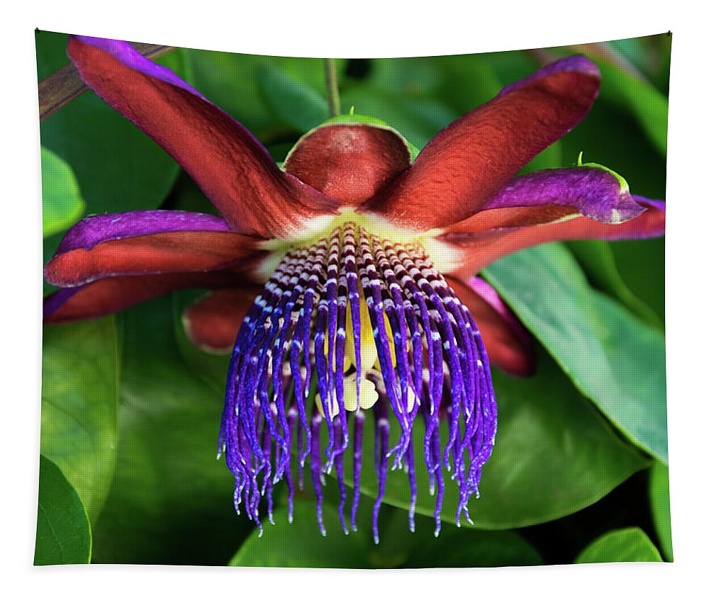 Single Purple And Red Passion Flower In Full Bloom Tapestry featuring the photograph Passion Flower Ver. 13 by Robert VanDerWal