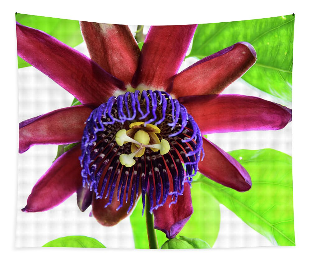 Single Purple And Red Passion Flower In Full Bloom Surrounded By Green Leaves Set Against A White Background Tapestry featuring the photograph Passion Flower Ver. 5 by Robert VanDerWal