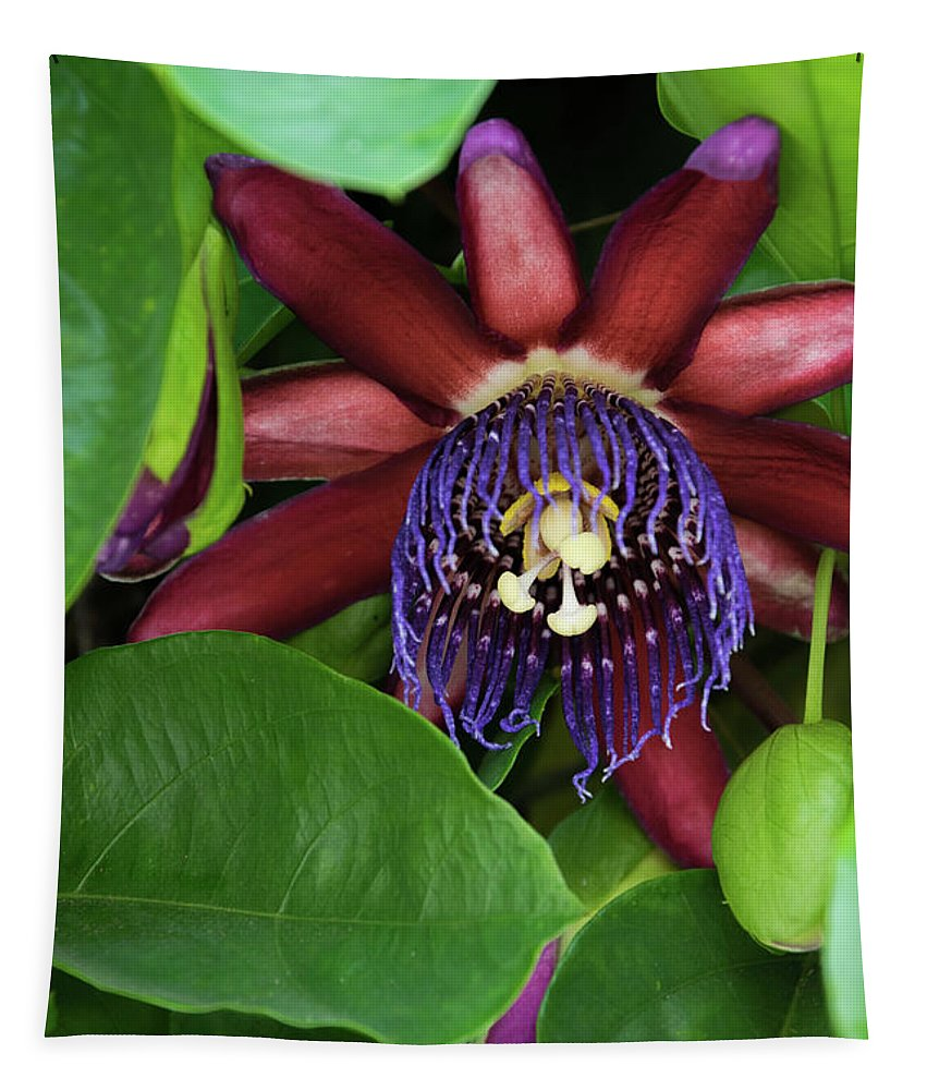 Single Purple And Red Passion Flower In Full Bloom Surrounded By Vine Leaves Tapestry featuring the photograph Passion Flower Ver. 8 by Robert VanDerWal