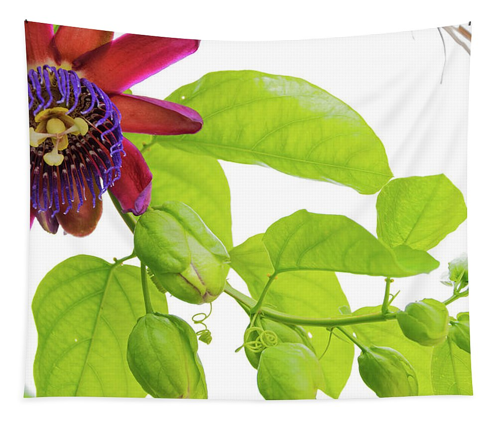 Single Purple And Red Passion Flower On A Vine With Multiple Buds Yet To Bloom Tapestry featuring the photograph Passion Flower Ver. 9 by Robert VanDerWal