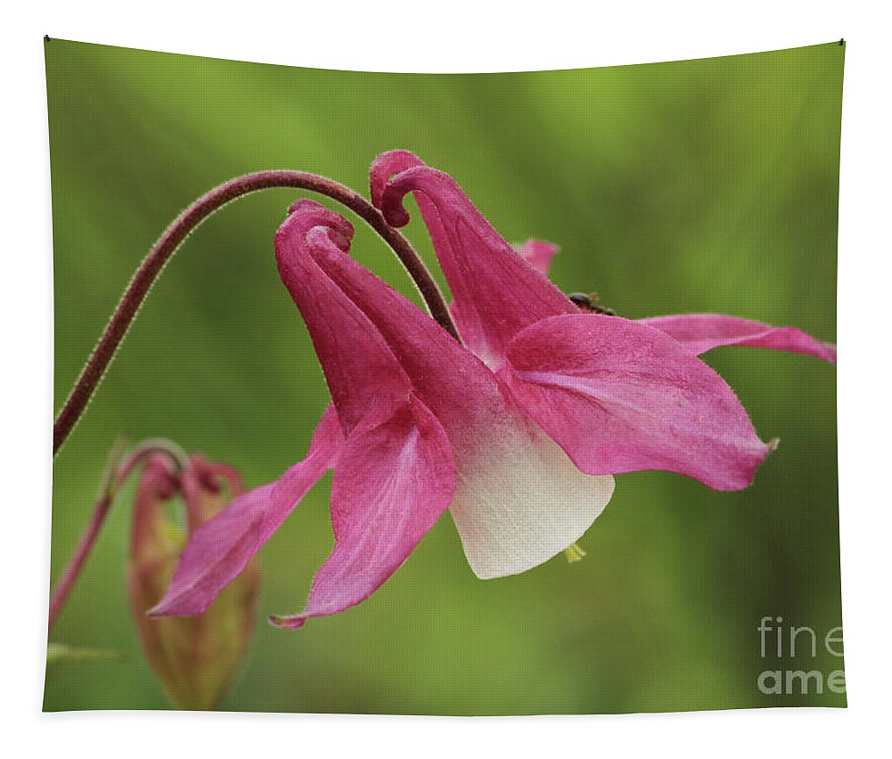 Flower Tapestry featuring the photograph Pink And White Columbine by Judy Whitton