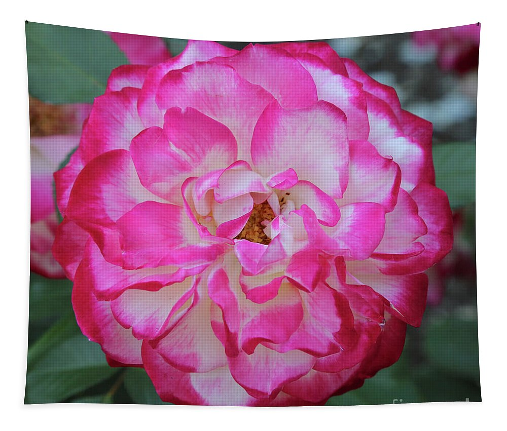 Pink And White Rose Tapestry featuring the photograph Pink And White Rose Square by Carol Groenen