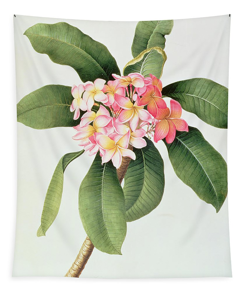Botanical; Tubular Flowers; Frangipani Tree; Frangipanier Tapestry featuring the painting Plumeria by Georg Dionysius Ehret