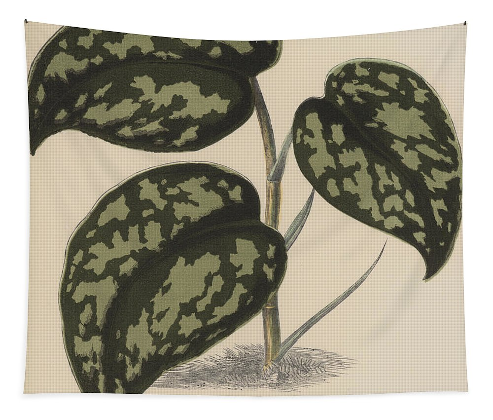 Pothos Argyraea Tapestry featuring the painting Pothos Argyraea by English School