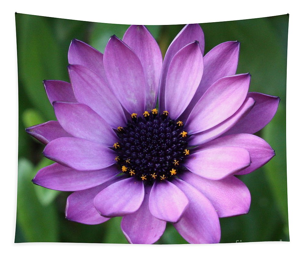 Purple Flower Tapestry featuring the photograph Purple Daisy Square by Carol Groenen