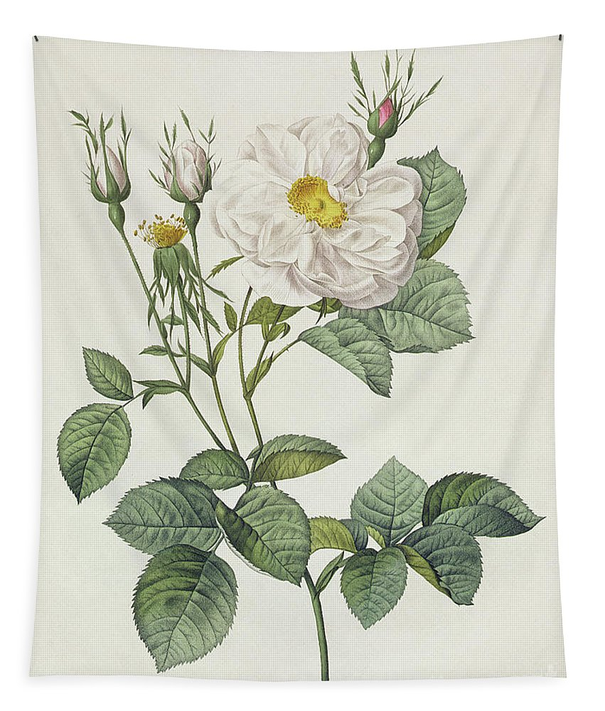 Rosa Tapestry featuring the drawing Rosa Alba Foliacea by Pierre Joseph Redoute