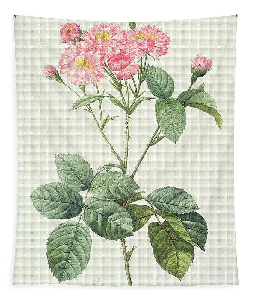 Rosa Tapestry featuring the drawing Rosa Centifolia Caryophyllea by Pierre Joseph Redoute