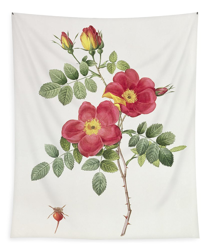 Rosa Tapestry featuring the drawing Rosa Eglantera Punicea by Pierre Joseph Redoute