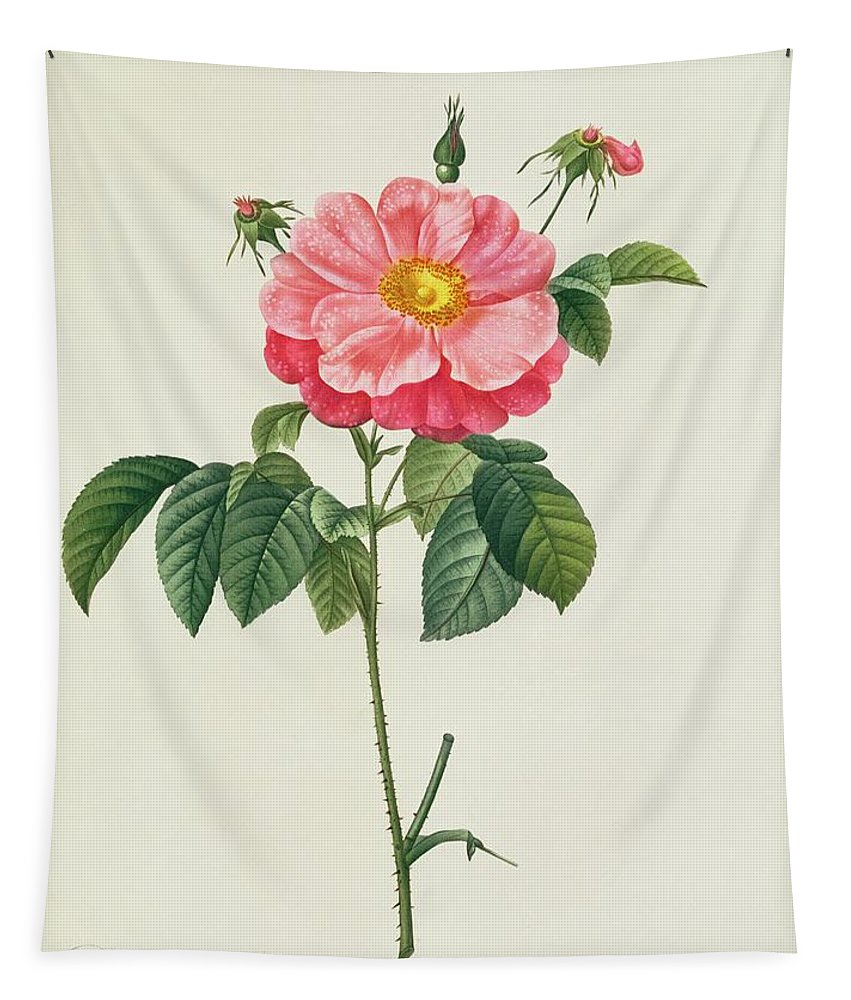 Rosa Tapestry featuring the drawing Rosa Gallica Flore Marmoreo by Pierre Joseph Redoute