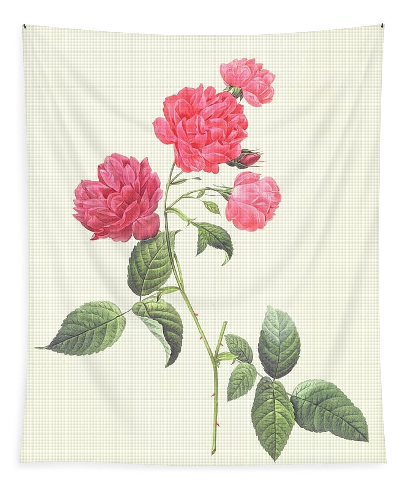 Rosa Tapestry featuring the drawing Rosa Indica Caryophyllea by Pierre Joseph Redoute