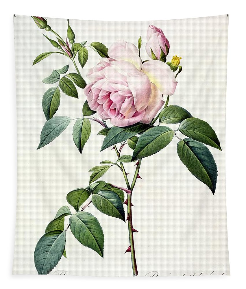 Rosa Tapestry featuring the drawing Rosa Indica Fragrans by Pierre Joseph Redoute