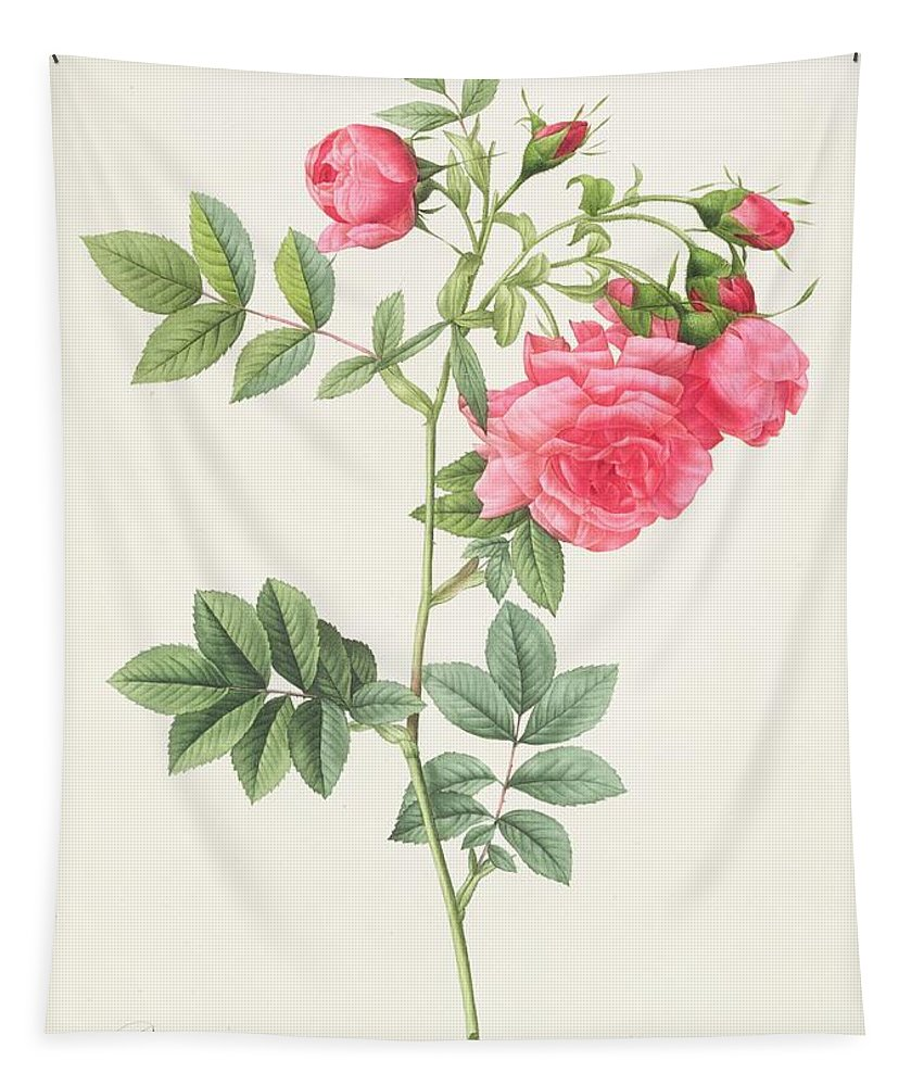 Rosa Tapestry featuring the drawing Rosa Pimpinellifolia Flore Variegato by Pierre Joseph Redoute