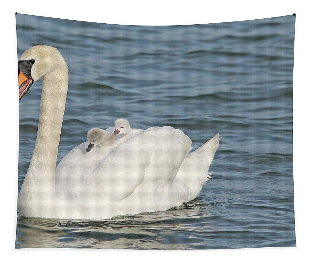 Adult Tapestry featuring the photograph Mute Swan With Babies On Its Back by CJ Park