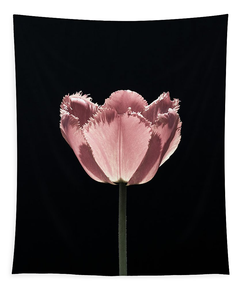Still Life Tapestry featuring the photograph Pale Tulip by Robert Alsop