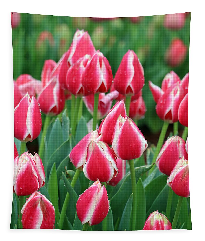Tulip Tapestry featuring the photograph Tulips - Candy Apple Delight 02 by Pamela Critchlow