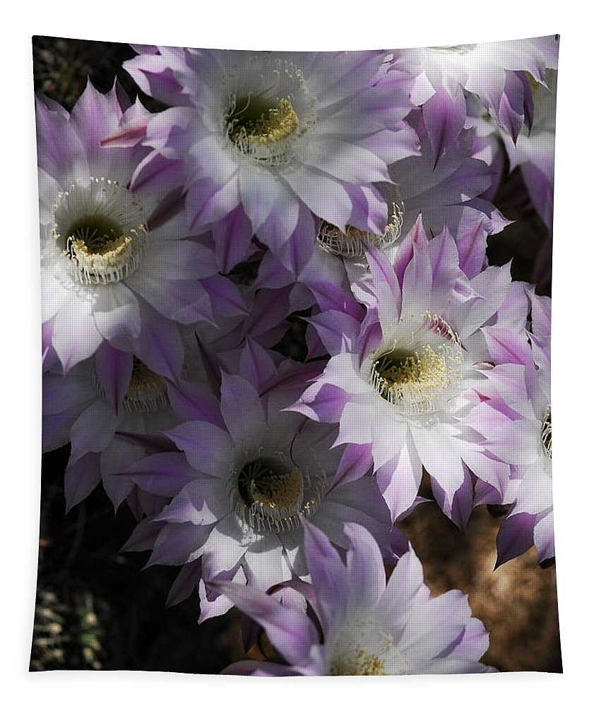 White And Pink Cactus Flowers Tapestry featuring the photograph White With A Hint Of Pink by Saija Lehtonen