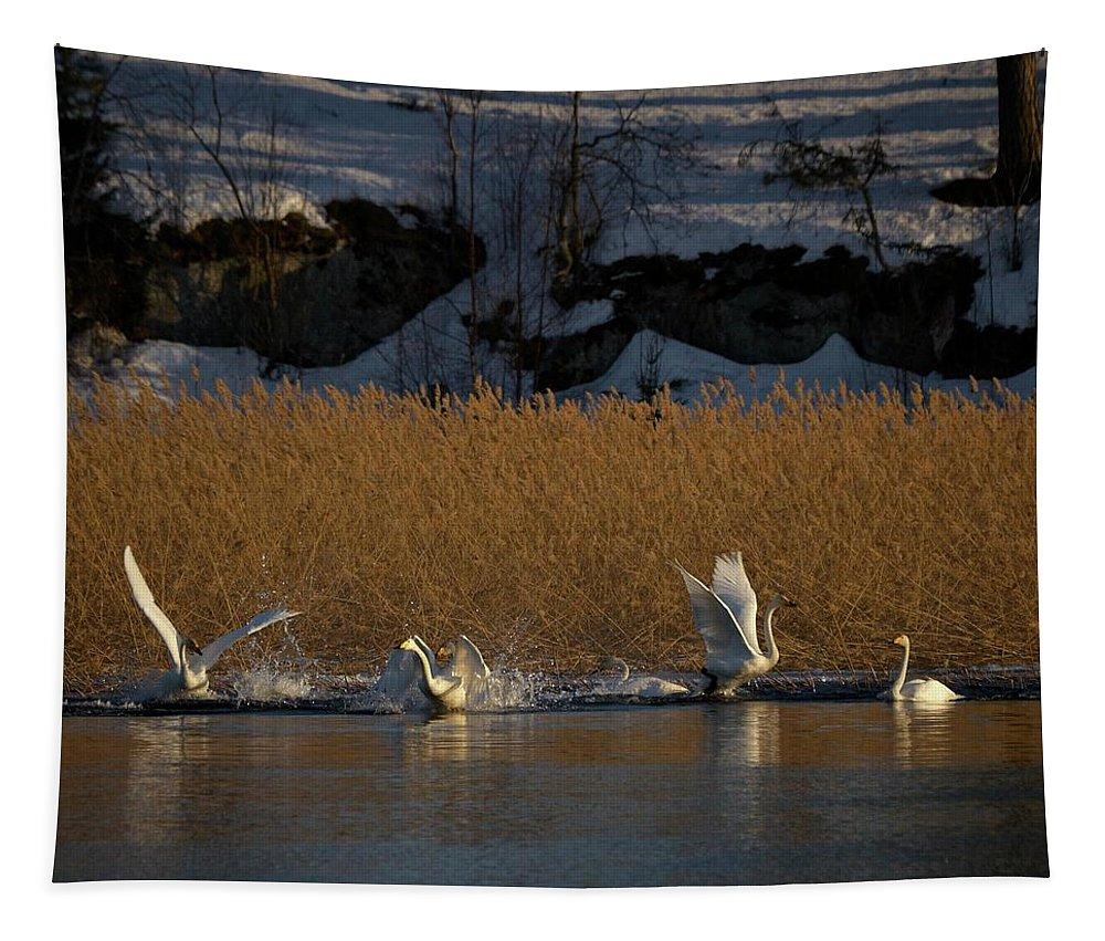Lehtokukka Tapestry featuring the photograph Whooper Swan Nr 12 by Jouko Lehto