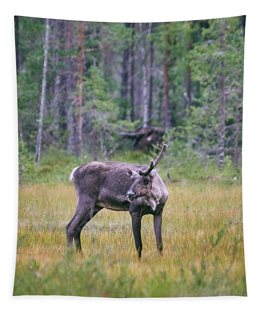 Finland Tapestry featuring the photograph Wild Finnish Forest Reindeer 24 by Jouko Lehto