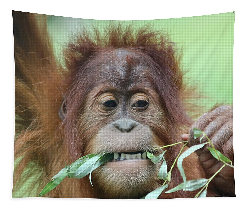 Animal Tapestry featuring the photograph A Close Portrait Of A Young Orangutan Eating Leaves by Derrick Neill