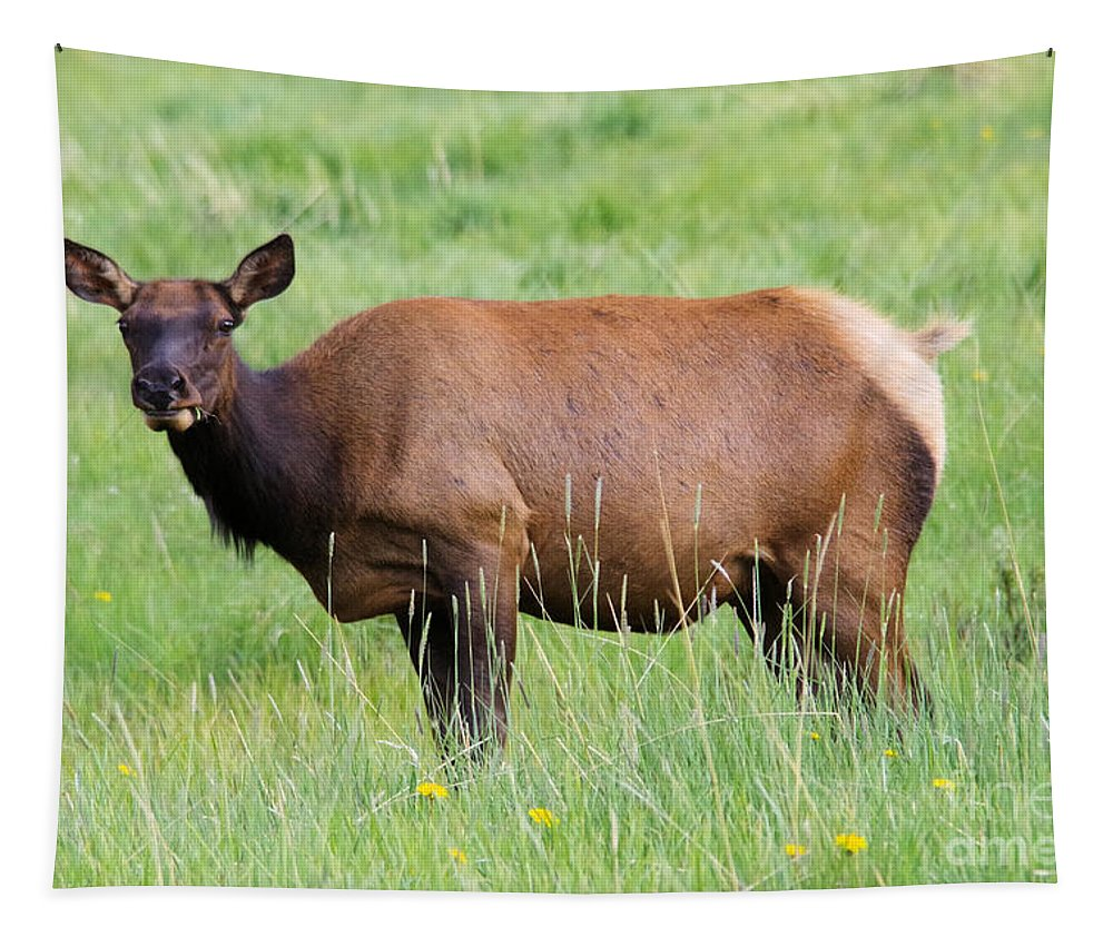 Elk Tapestry featuring the photograph Cow Elk Grazing by Jeff Swan