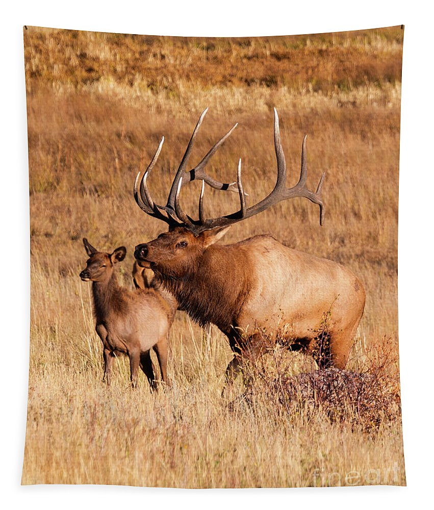 Rocky Mountain National Park Tapestry featuring the photograph Elk And Mate In Rocky Mountain Meadow by Steve Krull