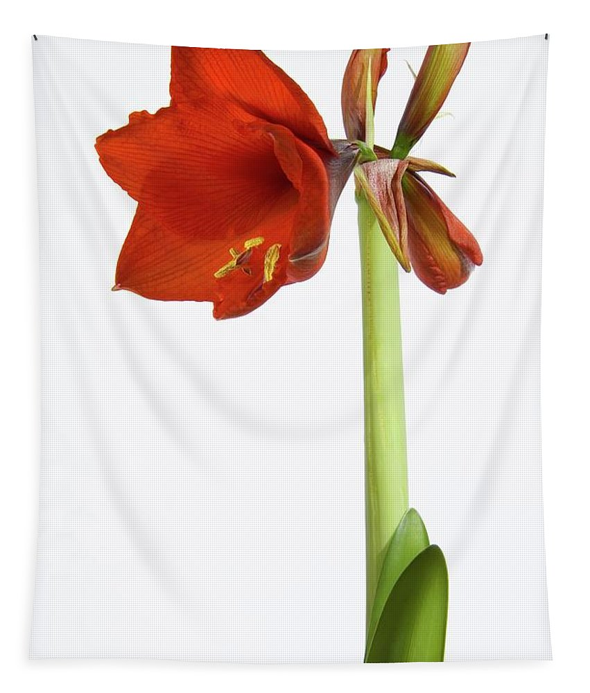 Amaryllis Tapestry featuring the photograph Flowering Amaryllis by Unknown