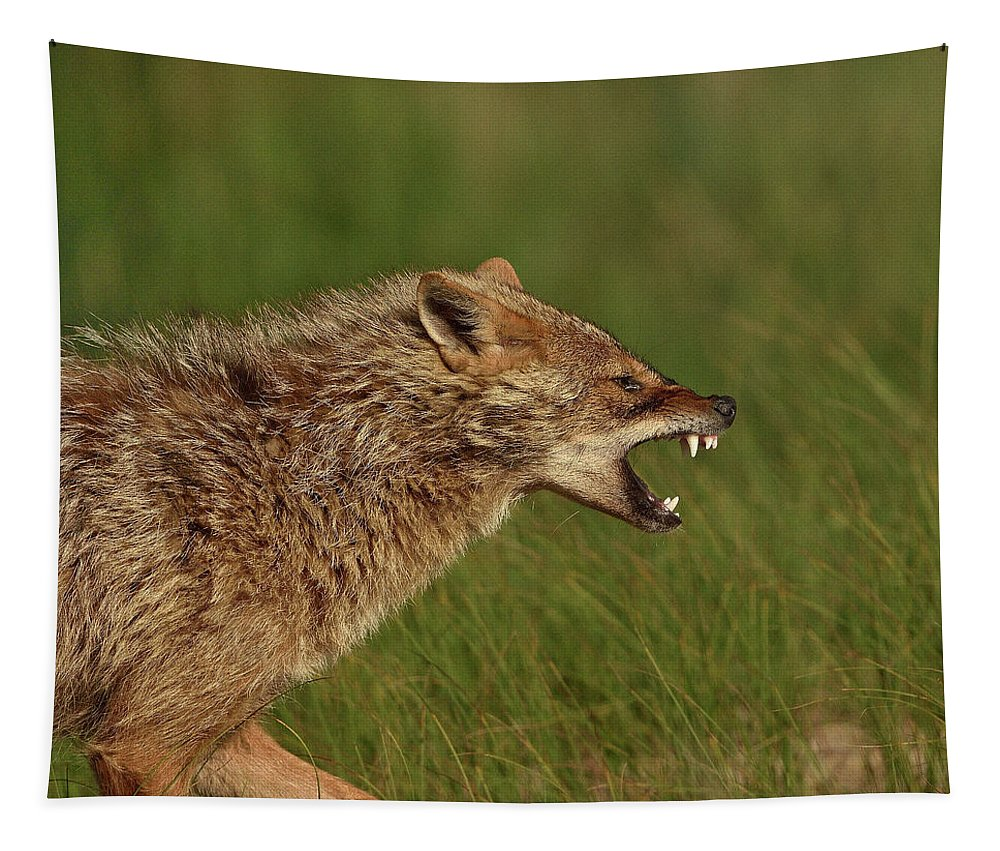 Jan2019highlights Tapestry featuring the photograph Golden Jackal Snarling, Danube Delta, Romania by Loic Poidevin / Naturepl.com