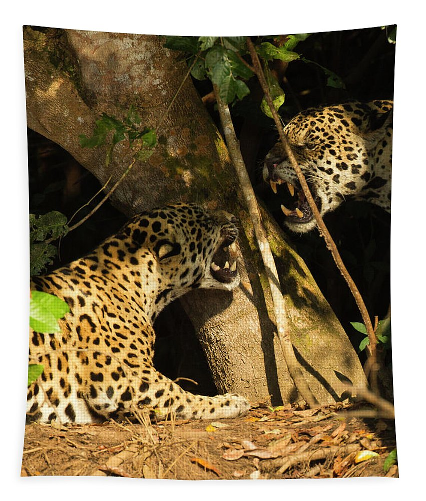 Highlights2018 Tapestry featuring the photograph Two Jaguars Snarling On The Riverbank, Pantanal, Brazil by Mary Mcdonald / Naturepl.com