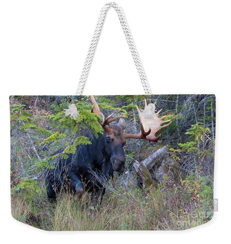 Bull Weekender Tote Bag featuring the photograph 0339 Bull Moose 3 by Steve Sturgill