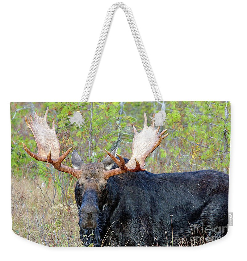 Bull Weekender Tote Bag featuring the photograph 0341 Bull Moose by Steve Sturgill