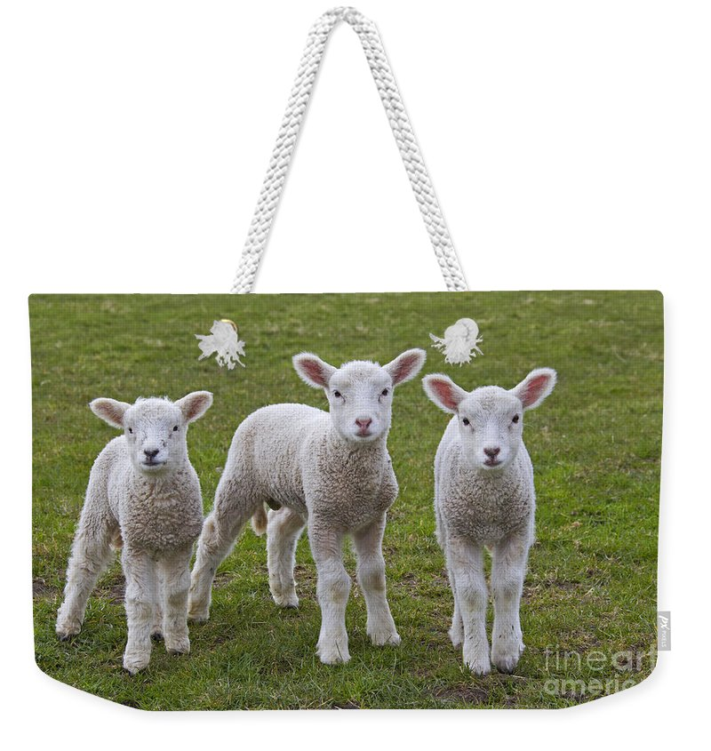 Domestic Sheep Weekender Tote Bag featuring the photograph 130201p089 by Arterra Picture Library