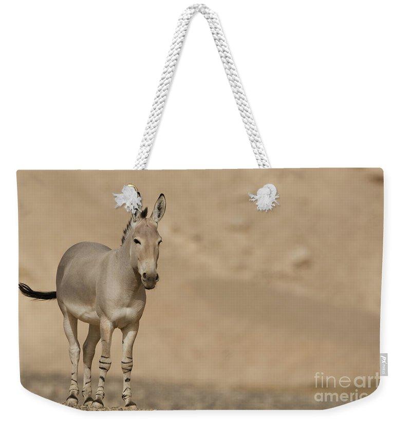 African Wild Ass Weekender Tote Bag featuring the photograph African Wild Ass Equus Africanus by Eyal Bartov