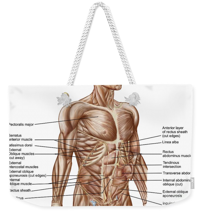 Anatomy Of Human Abdominal Muscles Weekender Tote Bag For Sale By
