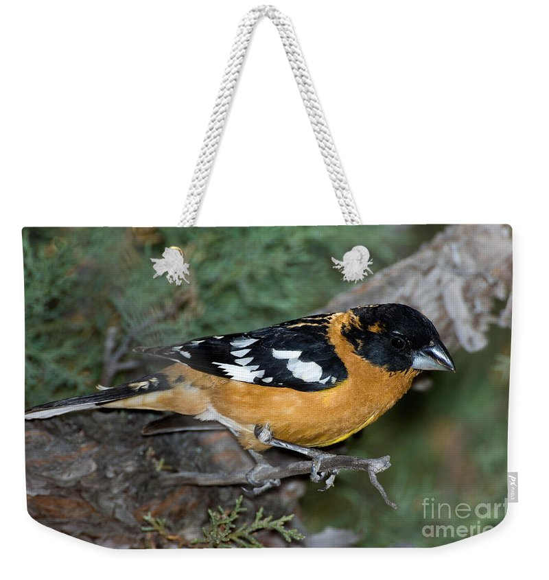 Fauna Weekender Tote Bag featuring the photograph Black-headed Grosbeak Male by Anthony Mercieca