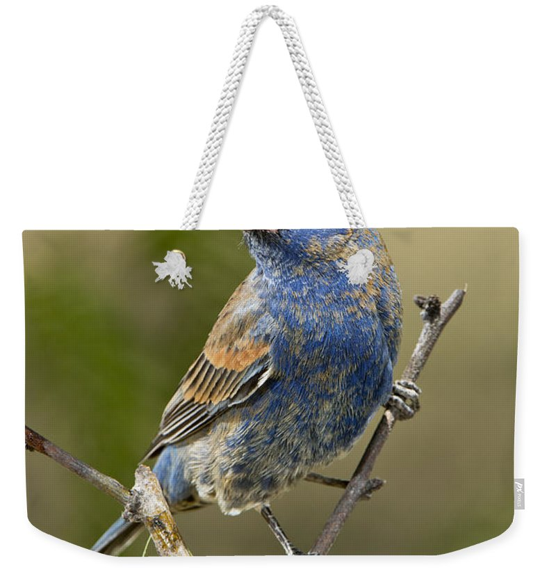 Blue Grosbeak Weekender Tote Bag featuring the photograph Blue Grosbeak by Anthony Mercieca