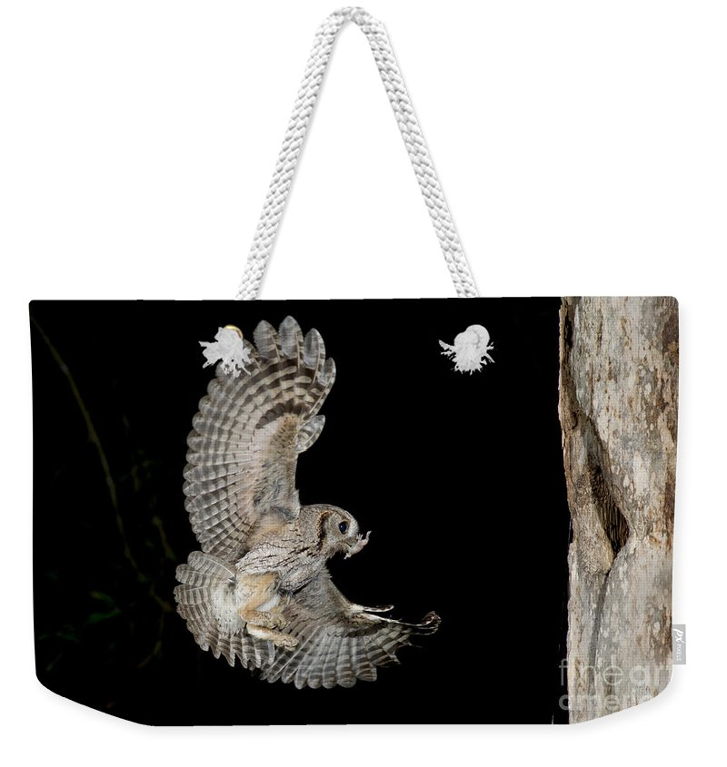 Eastern Screech Owl Weekender Tote Bag featuring the photograph Eastern Screech Owl by Anthony Mercieca