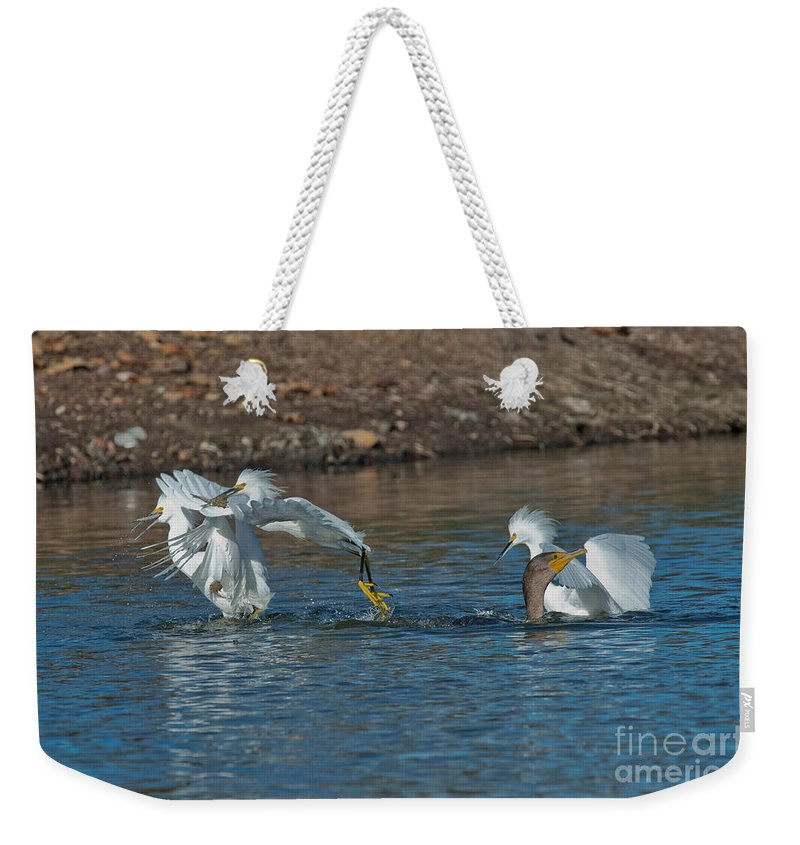 Snowy Egret Weekender Tote Bag featuring the photograph Egrets Robbing A Cormorant by Anthony Mercieca