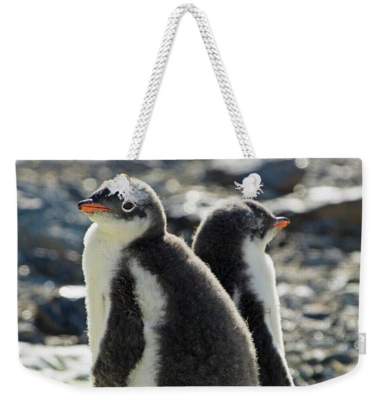 Alertness Weekender Tote Bag featuring the photograph Gentoo Penguins Pygoscelis Papua by Jim Julien / Design Pics