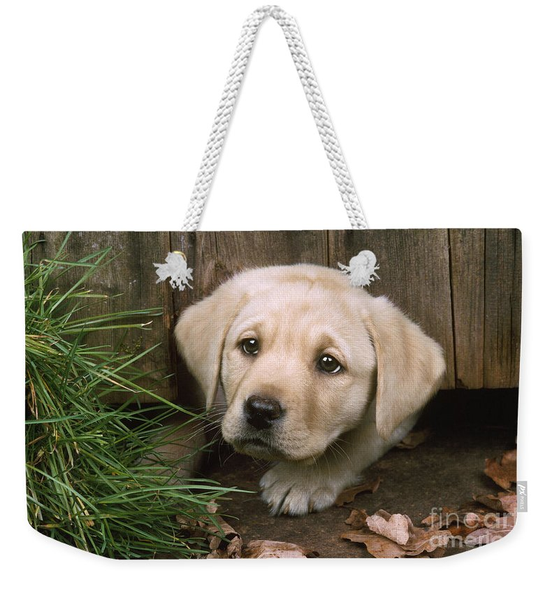 Labrador Weekender Tote Bag featuring the photograph Labrador Puppy by John Daniels