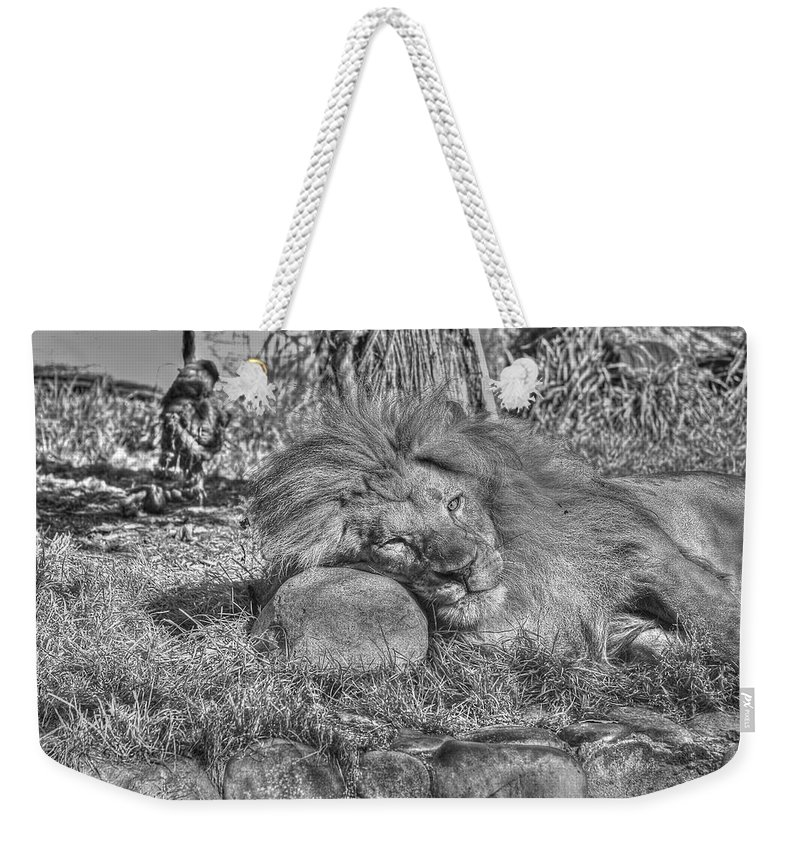 Animals Weekender Tote Bag featuring the photograph Lion In Repose by SC Heffner