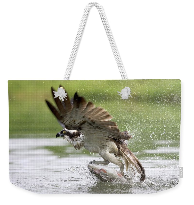 Osprey Weekender Tote Bag featuring the photograph Osprey With A Living Fish, Fischadler by Fritz Polking - Vwpics