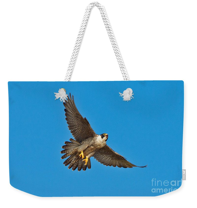 Animal Weekender Tote Bag featuring the photograph Peregrine Falcon In Flight by Anthony Mercieca