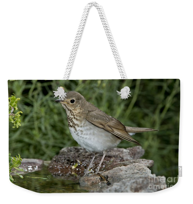 Swainson's Thrush Weekender Tote Bag featuring the photograph Swainsons Thrush by Anthony Mercieca