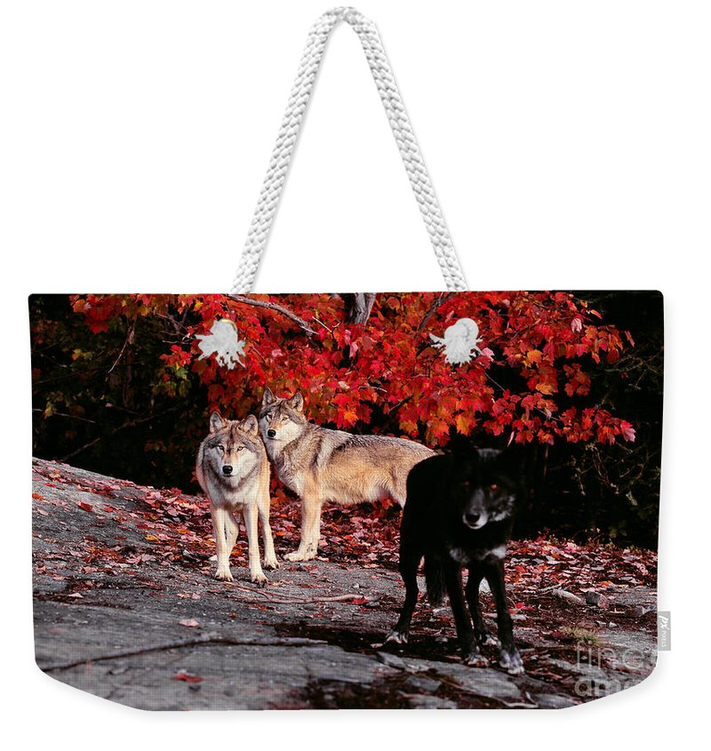 Wolf Weekender Tote Bag featuring the photograph Timber Wolves Under A Red Maple Tree by Les Palenik
